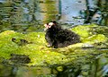 Newly hatched moorhen chick - geograph.org.uk - 1066751.jpg