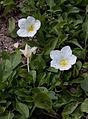 Nierembergia repens - Fleurs.jpg