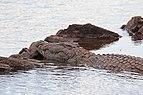 Nile crocodile in the Zambezi.jpg