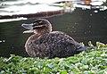 Nomonyx dominicus Pato enmascarado Masked Duck (female) (11323963754).jpg