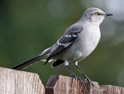 Northern Mockingbird3-cropped.jpg