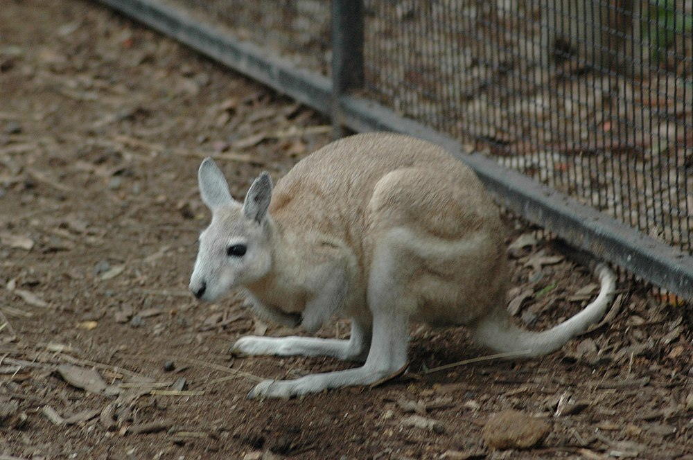 The average litter size of a Northern nail-tail wallaby is 1