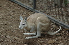 Northern Nail-tail Wallaby Featherdale.jpg
