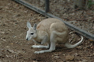 Northern nail-tail wallaby Species of marsupial