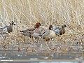 Northern Pintail (Anas acuta), Eurasian Wigeon (Anas penelope) & Garganey (Anas querquedula) (51170352287).jpg