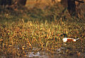 Northern Shoveler (Anas clypeata) male (20592688450).jpg