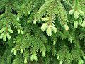 Norway Spruce foliage, Fågelmara, Sweden.jpg