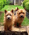 Norwichterrier.jpg