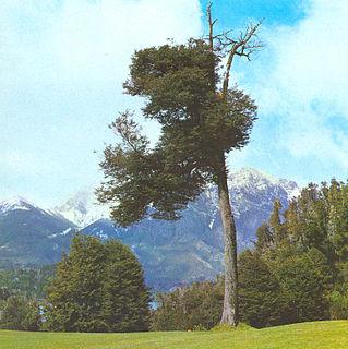 <i>Nothofagus dombeyi</i> species of plant