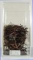 Notiomystis cincta (AM LB13314-4).jpg
