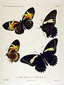 NovaraExpZoologischeTheilLepidopteraAtlasTaf14.jpg
