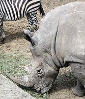 Nyíregyháza Zoo, Ceratotherium simum-5