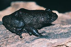 Nyctibatrachus sp.