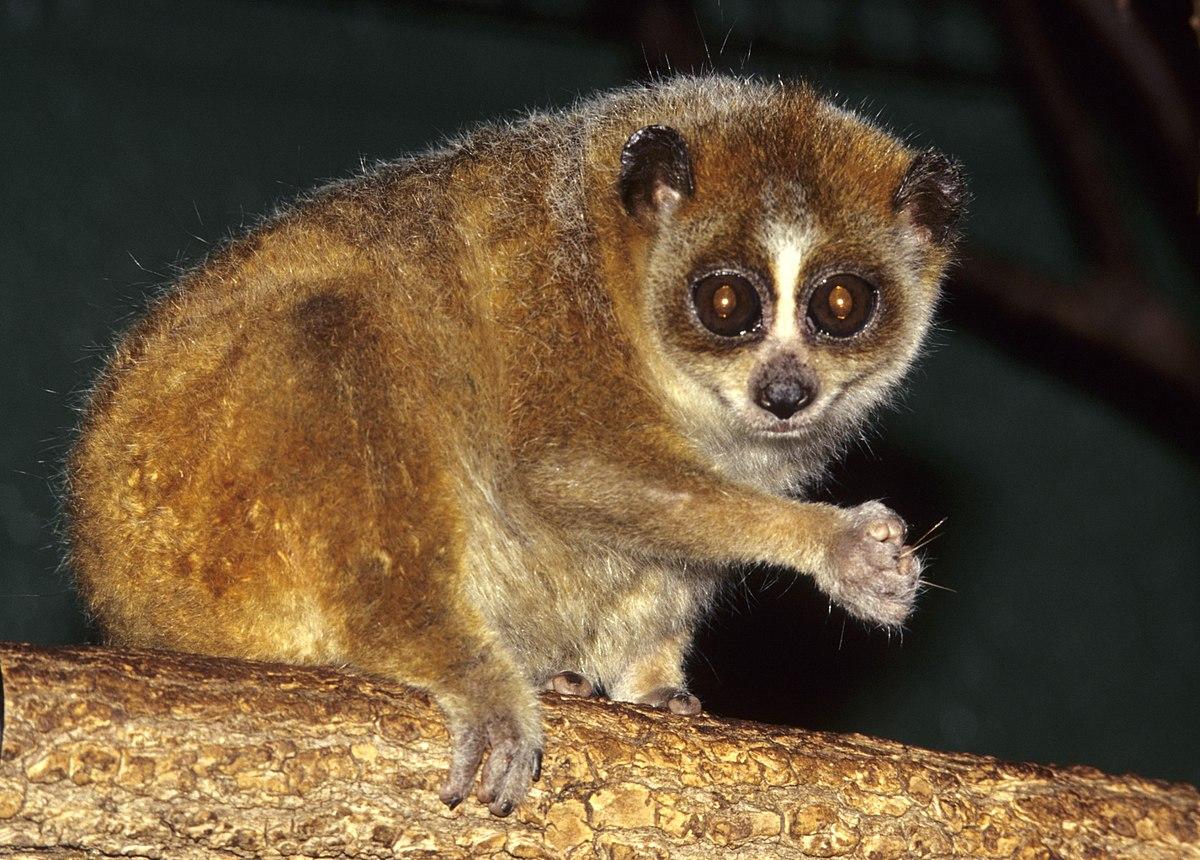 Pygmy slow loris - Wikipedia
