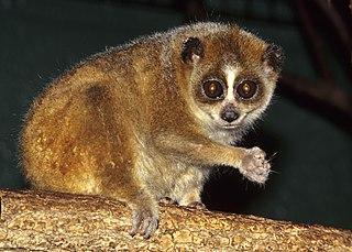 Pygmy slow loris Species of primate