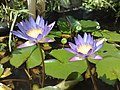 Nymphaea capensis (5675840490).jpg