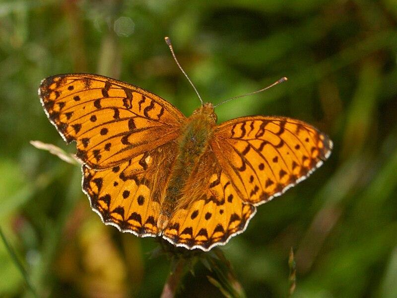 File:Nymphalidae - Argynnis aglaja.JPG