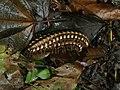 Nyssodesmus python (pair).jpg