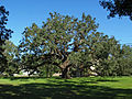 Oak at the Protestant Children's Home Sept 2012.jpg
