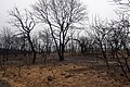 Oak trees that where severely damaged in a wildfire that occurred three weeks earlier. (24993489892).jpg