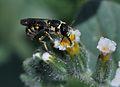 Ochreriades fasciatus male 3.jpg