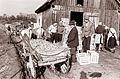 Odkup jabolk v Prelogah pri Slovenski Bistrici 1961.jpg