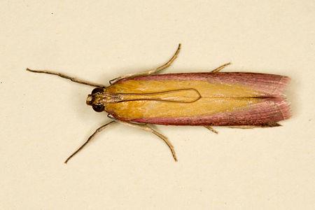 Oncocera semirubella, Lodz(Poland)02(js).jpg