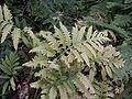 Onoclea sensibilis2.jpg