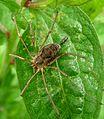 Opilione. Leiobunum sp.( tisciae^) - Flickr - gailhampshire.jpg