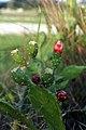 Opuntia ficus-indica flower, Saptari (5).jpg