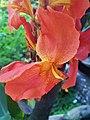 Orange Canna Lily (10).jpg