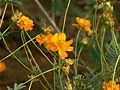 Orange Cosmos (312650966).jpg