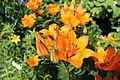 Orange flowers summer.JPG