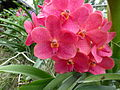 Orchids in Thailand 2013 2745.jpg