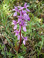 Orchis mascula.002 - Serra de Enciña de Lastra.JPG