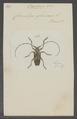 Oreodera - Print - Iconographia Zoologica - Special Collections University of Amsterdam - UBAINV0274 034 23 0017.tif