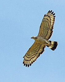 Oriental Honey-buzzard (Pernis ptilorhynchus) - Flickr - Lip Kee.jpg
