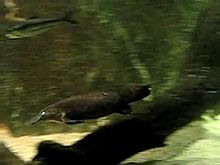 Plik:Ornithorhynchus anatinus -Sydney Aquarium, Sydney, Australia -swimming-6a.ogv