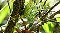 Orquídea minuscula, nativa da Serra do Japi. - panoramio.jpg