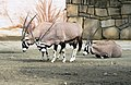 Oryx gazella Dvur zoo 2.jpg