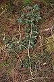 Osmanthus heterophyllus s7.jpg