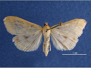 Description de l'image Fichier:Ostrinia nubilalis female dorsal.jpg.