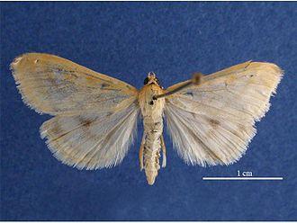 European corn borer - Image: Ostrinia nubilalis female dorsal