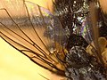 Oswaldia muscaria (26577133697).jpg