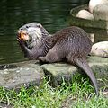 Otter at Chester Zoo.jpg
