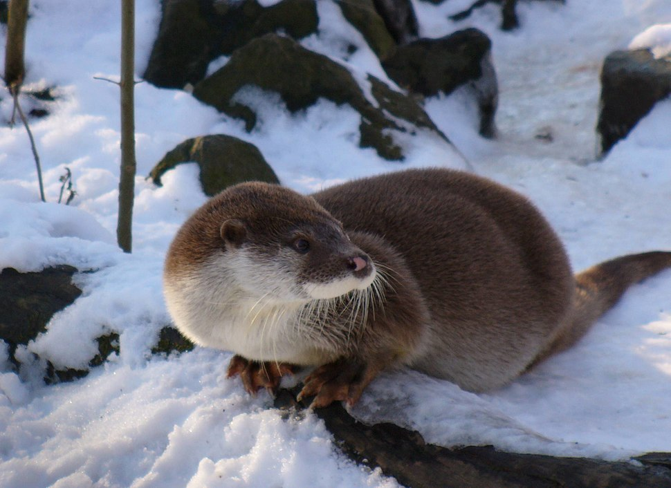 Otter in winter