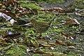Ovenbird (Seiurus aurocapilla) (8082136397).jpg