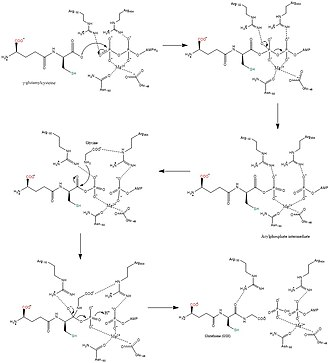 Glutathione synthetase - Image: Overall synthesis rxn of GSH