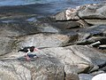 Oystercatcher on the rocks - geograph.org.uk - 840814.jpg