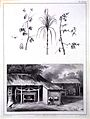 P. J. Benoit, Voyage Surinam, 1839; sugar cane Wellcome L0021240.jpg